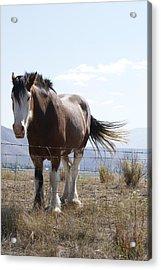Idaho Work Horse 2 Acrylic Print by Cynthia Powell