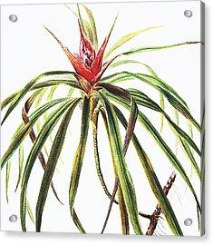 Ieie Plant Acrylic Print by Hawaiian Legacy Archive - Printscapes