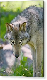 If Looks Could Kill Acrylic Print by Michael Cummings
