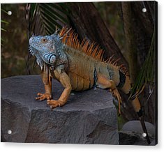 Iguana 2 Acrylic Print by Jim Walls PhotoArtist