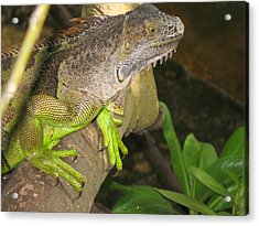 Iguana - A Special Garden Guest Acrylic Print by Christiane Schulze Art And Photography