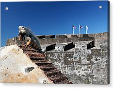 Iguana Basking On The Wall Of The San Cristobal Fort San Juan Puerto Rico. Acrylic Print by George Oze