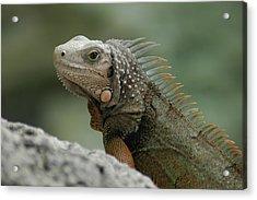 Acrylic Print featuring the photograph Iguana Bay by Lori Mellen-Pagliaro