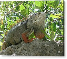 Iguana Daze Acrylic Print by Nancy Taylor
