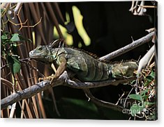 Acrylic Print featuring the photograph Iguana by Edward R Wisell