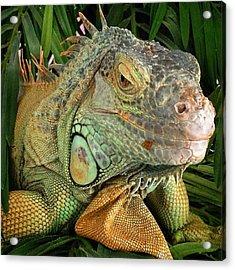 Iguana, #juansilvaphotos #jmsilva59 Acrylic Print
