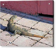 Iguana On The Street Acrylic Print