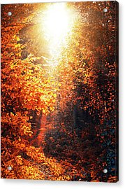 Illuminated Forest Acrylic Print by Wim Lanclus