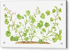 Illustration Of Malva Neglecta (dwarf Mallow), Wildflowers Acrylic Print