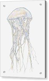 Illustration Of Sand Jellyfish (rhopilema Sp) Acrylic Print
