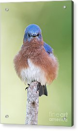 I May Be Fluffy But I'm No Powder Puff Acrylic Print by Bonnie Barry