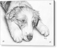 I'm Sorry - Australian Shepherd Puppy Acrylic Print by Heather Page