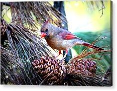 Img_0311 - Northern Cardinal Acrylic Print by Travis Truelove