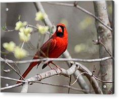 Img_2027-004 - Northern Cardinal Acrylic Print