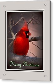 Img_3158-005 - Northern Cardinal Christmas Card Acrylic Print