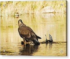 Immature Bald Eagle Acrylic Print by Dennis Hammer