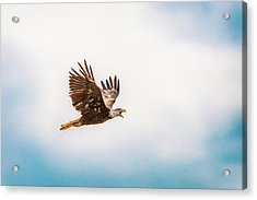 Acrylic Print featuring the photograph Immature Bald Eagle by Onyonet  Photo Studios