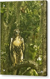 Immature Red-tail Hawk Acrylic Print by Phill Doherty