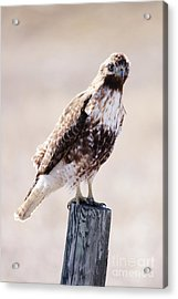 Immature Red Tailed Hawk Acrylic Print
