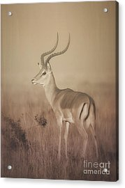 Acrylic Print featuring the photograph Impala At Dawn by Chris Scroggins
