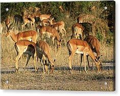 Impala Acrylic Print