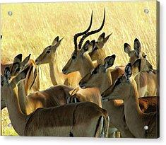 Impalas In The Plains Acrylic Print