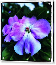 Acrylic Print featuring the photograph Impatiens. Also Known As our Lady's by Mr Photojimsf