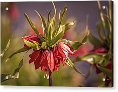 Acrylic Print featuring the photograph Imperial Crown #g3 by Leif Sohlman
