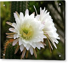 Acrylic Print featuring the photograph Cactus Blossoms by Melanie Alexandra Price