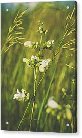 Acrylic Print featuring the photograph In Fields Of Gold by Christi Kraft