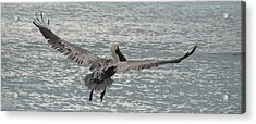 In Flight Acrylic Print by Ginger Howland