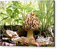 In Hiding - Morel Mushroom Acrylic Print by Angie Rea