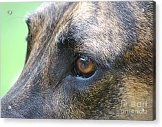 In The Eyes Of A Dog Acrylic Print by Lila Fisher-Wenzel
