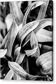In The Garden _ Tulip Leaves Acrylic Print