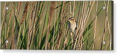 In The Reeds Acrylic Print