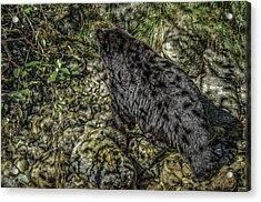 In The Shadows Black Bear Acrylic Print