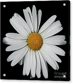 In The Spotlight White Daisy Acrylic Print
