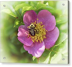 In The Wild Rose Patch Acrylic Print