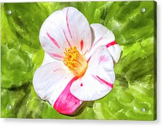 Acrylic Print featuring the mixed media In The Winter Garden - Camellia Blossom by Mark Tisdale