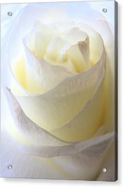 Incandescent Rose Acrylic Print