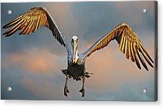 Incoming II, California Brown Pelican Acrylic Print