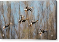 Incoming White-fronted Geese Acrylic Print
