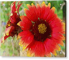 Indian Blanket Flowers Acrylic Print