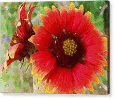 Indian Blanket Flowers Acrylic Print