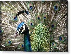 Indian Blue Peacock Puohokamoa Acrylic Print by Sharon Mau