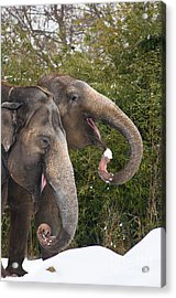 Indian Elephants Eating Snow Acrylic Print