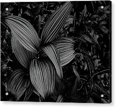 Acrylic Print featuring the photograph Indian Hellebore 1 by Trever Miller