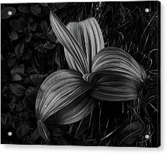 Acrylic Print featuring the photograph Indian Hellebore 2 by Trever Miller