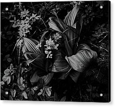 Acrylic Print featuring the photograph Indian Hellebore 3 by Trever Miller