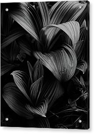Acrylic Print featuring the photograph Indian Hellebore 4 by Trever Miller